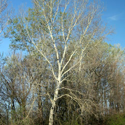 White poplar tree