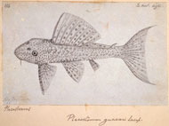 Drawing by Wallace of an armoured catfish, Hypostomus plecostomus
