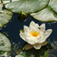 Water lilies in the Wildlife Garden pond