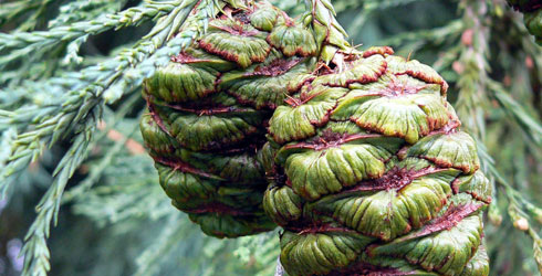 Wellingtonia tree cones