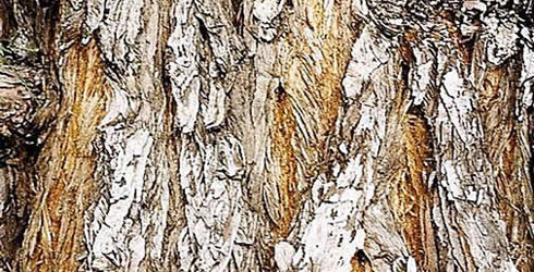Wellingtonia bark