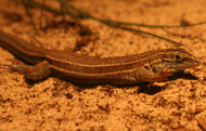 Some species of whiptail lizards exist as all-female populations that reproduce asexually