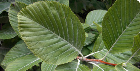 Whitebeam tree leaves