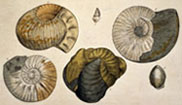 Plate 13 from 'Strata Identified by Organized Fossils' by William Smith (1816-1819)