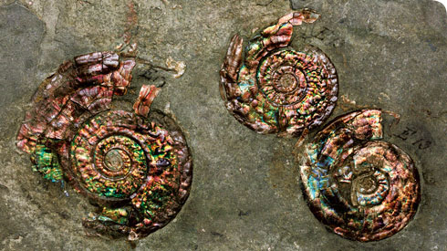 Fossil ammonites, Psiloceras planorbis, once owned by William Smith