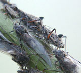 Fig.3 Large willow aphid (Tuberolachnus salignus)