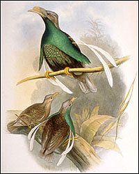 Wallace's Standard wing Bird of Paradise, Semioptera wallaceii