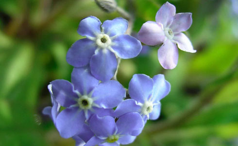 Wood forget-me-not, Myosotis sylvatica