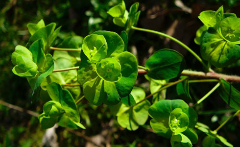 Wood spurge, Euphorbia amygdaloide
