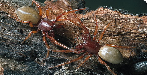 A pair of woodlouse spiders, Dysdera crocata