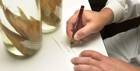Museum scientist writing a specimen label for a specimen held in spirit.