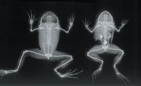 An x-ray of frog specimens held at the Museum