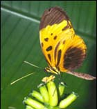 A Heliconius butterfly, H. numata
