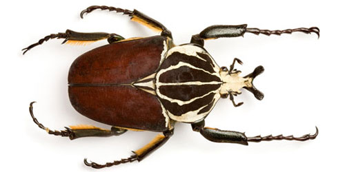 A beetle from the Museum's entomology collection