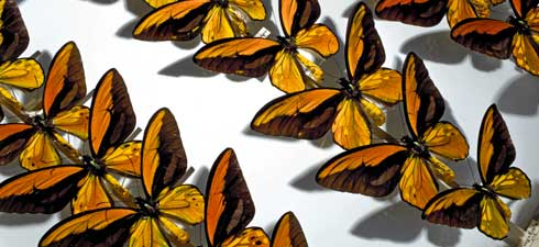 Butterfly specimens in the Museum collections
