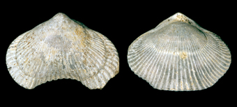 Top and bottom views of the brachiopod Cyclothyris difformis