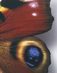 The wing of a peacock butterfly