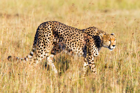 Cheetah, the fastest land animal