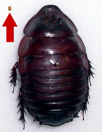 Smallest and largest cockroaches in the world