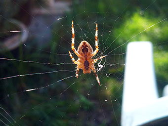 Garden spider by George Badry, age 6