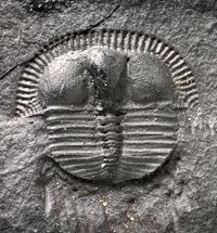 Small trilobite from Wales. This fossil is over 440 million years old.
