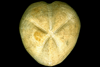 A common heart-shaped sea urchin, Micraster coranguinum.