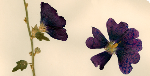 Dried specimen of Alcaea pallida, a flower from Turkey, from the Museum's herbarium