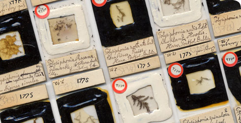 Microscope slides of algae in the Schmitz collection