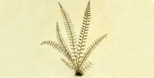 Copper plate of single-sorus spleenwort, Asplenium monanthes