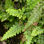 The fern Asplenium x microdon