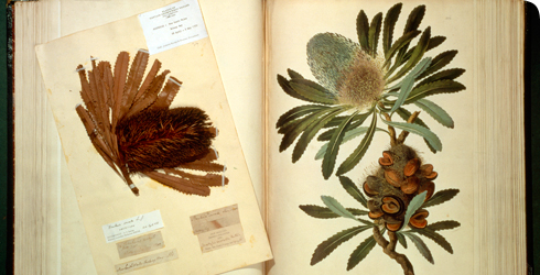 A specimen of Old Man Banksia, Banksia serrata, named in honour of Joseph Banks