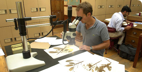 Botanist working with herbarium specimens at the Museum