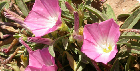 Convolvulus lineatus from the family Convolvulaceae