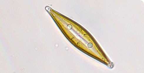 Craticula species of diatom