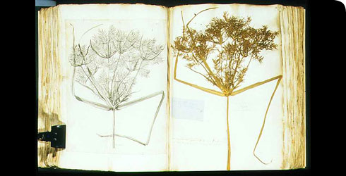 Specimen and engraving of Cyperus longus in the Sloane Herbarium