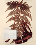 Herbarium specimen of Dryopteris dilatata from the UK