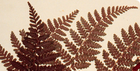 Close-up of a Dryopteris dilatata herbarium specimen