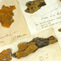 Mounted Xanthoria parietina lichen specimens held in the Museum's crypt herbarium