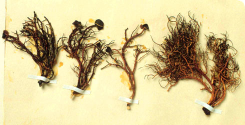 Specimens of the lichen Neuropogon aurantiaco-atra collected by Charles Darwin.