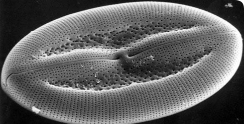 Scanning electron microscope image showing a living species of pennate diatom found in shallow seas