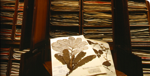 Banksia dentata and herbarium specimens