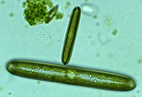 Pinnularia species of diatom