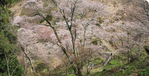 Cherry blossoms at Yoshinoyama, Japan.
