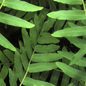 Leaves of the royal fern, Osmunda regalis