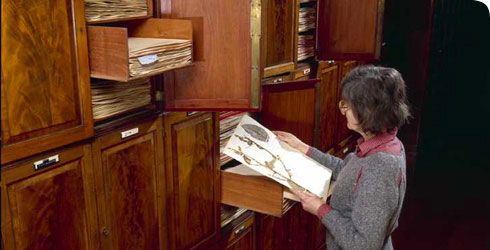 Scientist consulting the General Herbarium collection