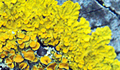 The lichen Xanthoria parietina