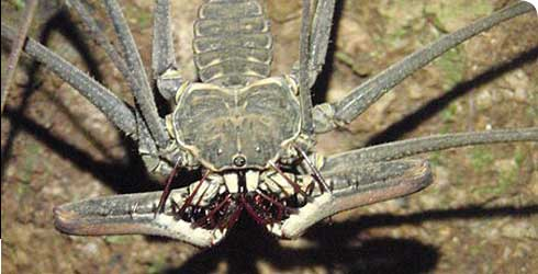 A whip spider