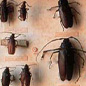 Various beetles from the collection of Sir Joseph Banks