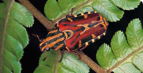 A rose chafer beetle