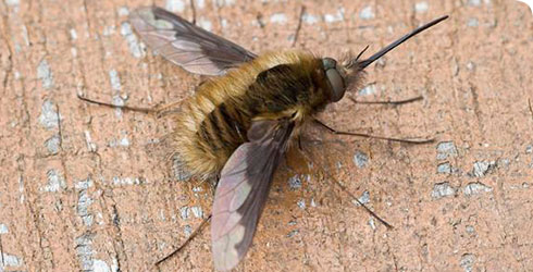 Bombylius major, bee fly